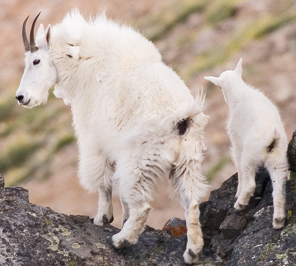 Goat family crop